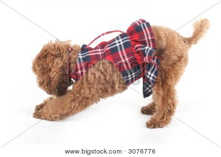 Toy poodle in red checkered dress skirt poster