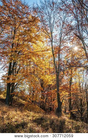 Autumn Forest In Golden Foliage On A Sunny Day. Tall Beech Trees. Bright And Dry Weather. Beautiful