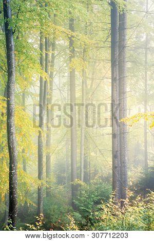 Ancient Beech Forest On Foggy Autumn Morning. Yellow Lush Foliage. Beautiful Nature Scenery