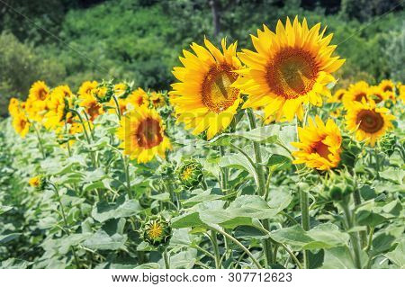 Ripe Sunflowers In The Field. Beautiful Countryside In Summer. Sunny Weather With Forested Hill On T