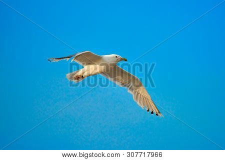 Seagull In Blue Sky Clouds. Seagull Flying In Blue Sky. Seagull Flying In Sky. Seagull Flying Sky