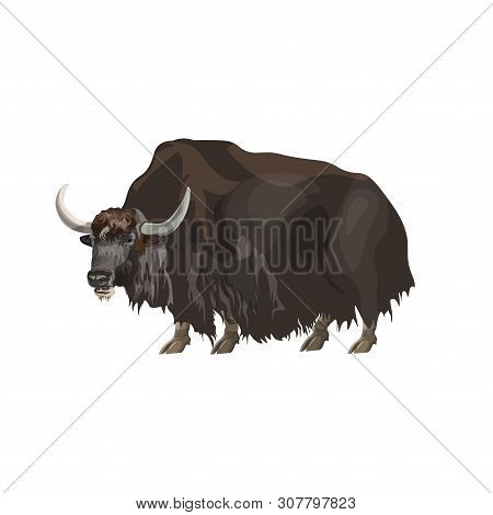 Domestic Yak Standing. Vector Illustration Isolated On White Background