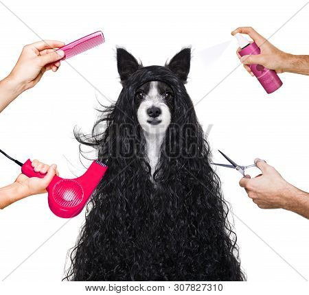 Hairdresser Dog Ready To Look Beautiful By Comb, Scissors, Dryer, And Spray At The Wellness Spa Salo