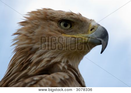 Imperial Eagle Portrait