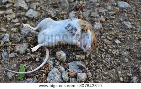Dead Common Vole (microtus Arvalis), South Bohemia, Czech Republic