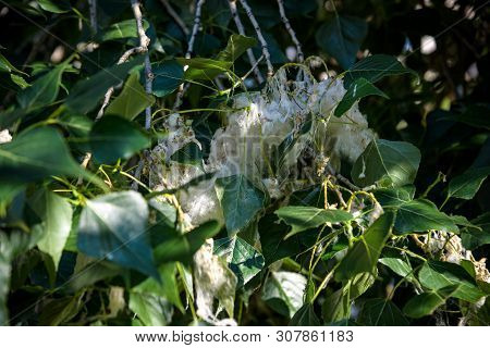 Poplar Fluff On The Branch Among Green Grass. White Fluff From Poplar Trees, Allergies Symptoms