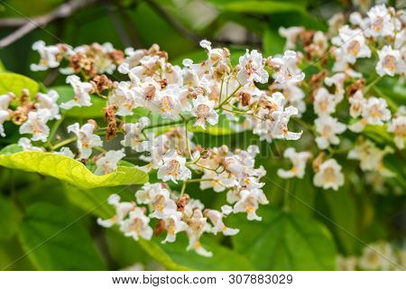Close Up Blooming Catalpa Bignonioides Tree With White Flowers