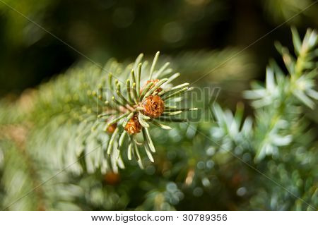 Small Cone On Branch