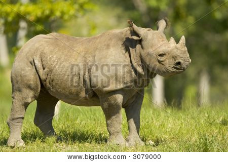 Body shot of a Rhinoceros standing on the grass poster