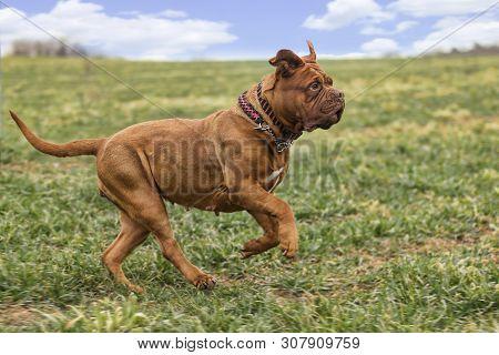 Big Dog. Dogue De Bordeaux. French Mastiff.