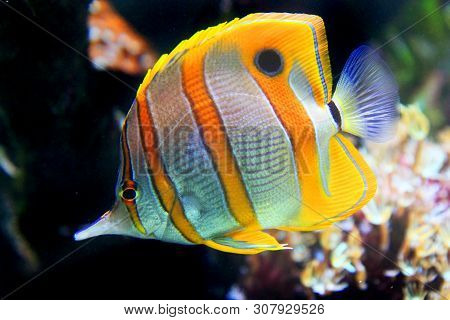 Copperband Butterflyfish From The Red Sea From Egypt