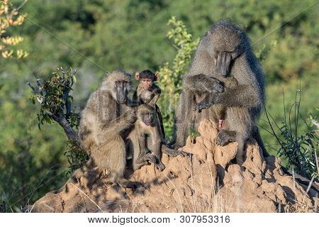 Portrait Of A Chacma Baboon Family, Papio Ursinus, On An Anthill
