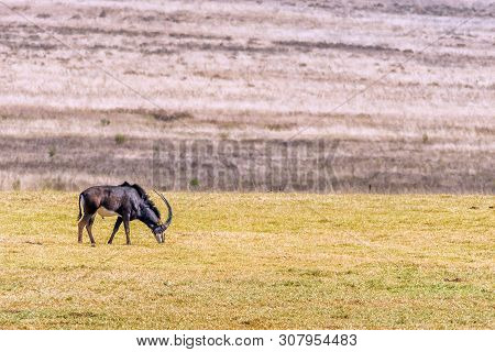A Sable Antelope Bull, Hippotragus Niger, Grazing In A Grass Field