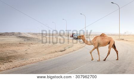 A camel is crossing the road near Salalah, Oman