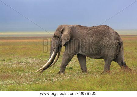 Afrikanischer Elefant mit riesigen Stoßzahn