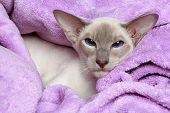 Oriental Lilac-point siamese cat resting in a soft blanket poster