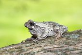 gray tree frog ( hyla versicolor) on a cedar tree with green background poster