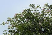 """rambling or climbing rose """"Madame Alfred Carriйre"""" with soft pink flowers in an apple tree against a blue sky, old noisette rose bred by schwartz 1875 poster"""