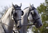 Beautiful white horse pair in a carriage poster