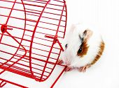 White and brown hamster next to your wheel poster