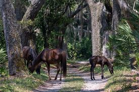 Wild Horses Graze By A Road At Cumberland Island National Seashore.
