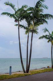 Palm Trees In A Starom At Bird Key Car Park - Sarasota, Florida - November 3, 2018