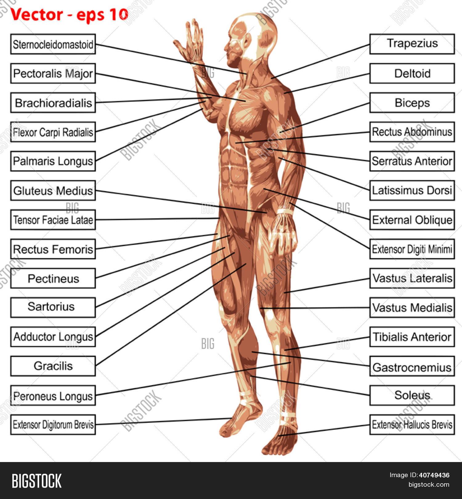 Vector y foto 3D Vector Anatomí Masculina O | Bigstock