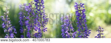 Purple Flowers Of Decorative Sage Field