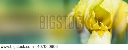 Close-up Abstract Image Of Yellow Iris Flower. Spring Macro Outdoor.yellow Spring Flowers In A Garde