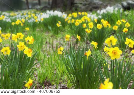 A Field Of Yellow And White Daffodils Or Narcissus, Spring Flowering Perennial Plants Of The Amaryll