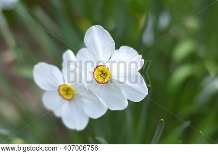 White Daffodils Or Narcissus, Spring Flowering Perennial Plants Of The Amaryllis Family, Amaryllidac