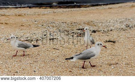 Seagulls Close Up. Seagulls Seabirds. Seagulls Walk On The Beach With Pebbles On The Sea Coast