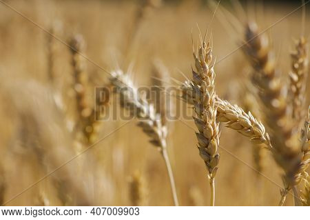 The Concept Of A Rich Harvest. Wheat Field With Ears Of Golden Wheat. Beautiful Agricultural Fields