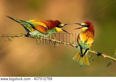Two European Bee-eaters Dueling Over Territory On A Rosehip Twig With Thorns