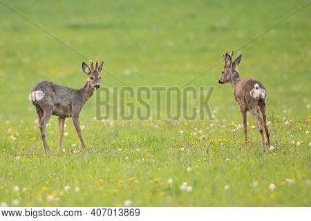 Two Roe Deer Bucks Standing On A Meadow And Looking On Each Other In Spring