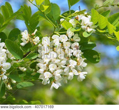 Locust Tree Blossom In Spring, Robinia Pseudoacacia