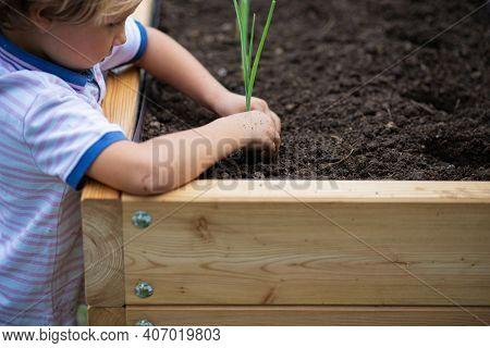 Toddler Child Planting Green Spring Onion Seedling In Fertile Soil Of A Raised Bed Garden.