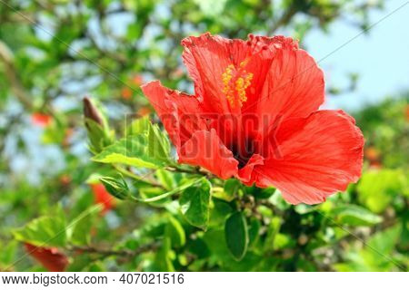 Chinese Hibiscus Beautiful Red Flower Hibiscus Rosa-sinensis Blossom, Known As The Chinese Rose. The