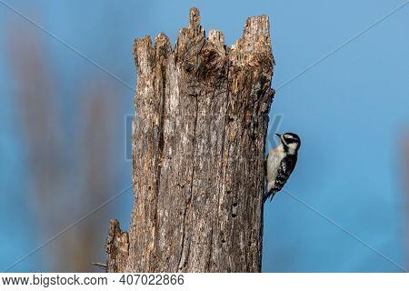 A Female Downy Woodpecker Perch On A Tree Limb.