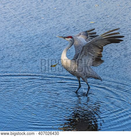 Solitary Sandhill Crane Flapping His Wings In A Florida Wetland Pond.