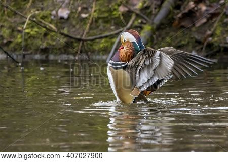 A Beautiful Male Mandarin Duck Posing In A Little Pond Called Jacobiweiher Not Far Away From Frankfu