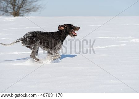 The Dog Pursues The Alleged Prey, Giving Long Leaps Over The Snow Scales. German Wirehaired Pointer