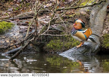 Beautiful Mandarin Duck In A Little Pond Called Jacobiweiher Not Far Away From Frankfurt, Germany At