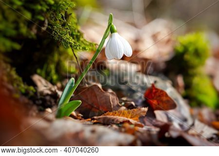Snowdrop Galanthus Nivalis In The Forest Close-up. Macro Photography Of Snowdrops Among Fallen Leave