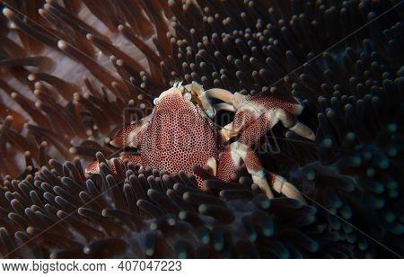 Pretty Crustacean Feeding On The Sea Anemone