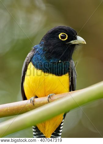 Gartered Trogon - Trogon Caligatus Also Northern Violaceous Trogon, Yellow And Dark Blue, Green Pass