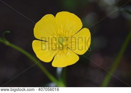 Ranunculus Acris (meadow Buttercup, Tall Buttercup, Giant Buttercup). Close Up Of A Common Buttercup