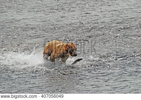Kodiak Bear Chasing After A Salmon In The Fraser River On Kodiak Island In Alaska