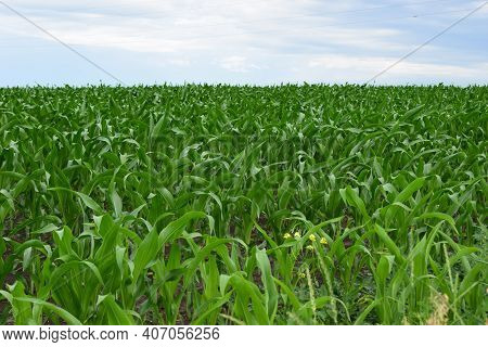 Green Field With Young Corn At Sunset. Green Corn Maize Field In Early Stage. Typical Corn Farm