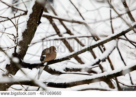 One turtle dove sitting on tree in winter blizzard